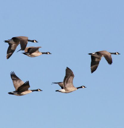 wild-geese